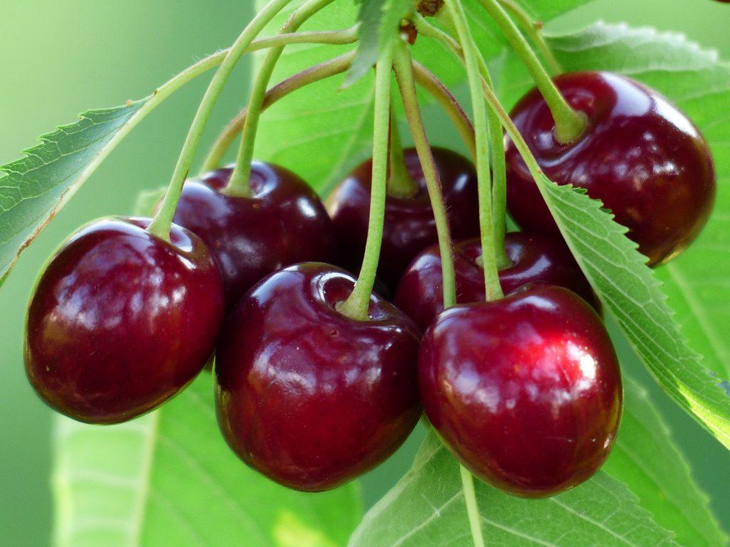 hanging cherries goutproof antioxidants and anti-inflammatory agents in cherries