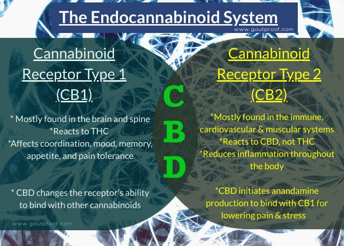 CBD effects on the Endocannabinoid System
