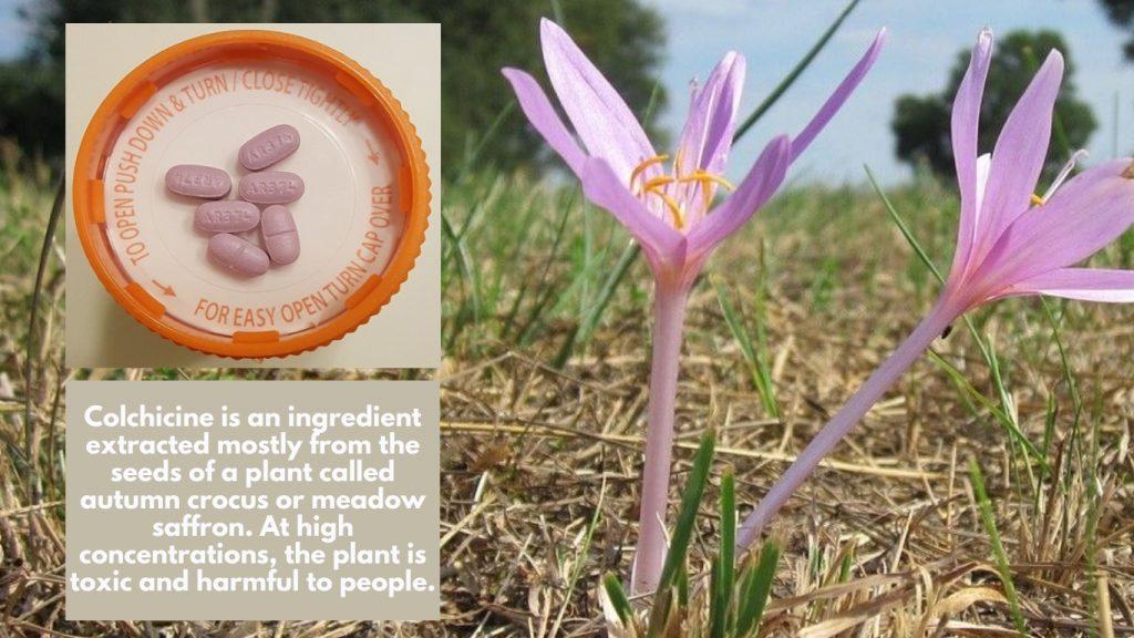 Gloperba liquid version colchicine from meadow saffron or autumn crocus purple pills